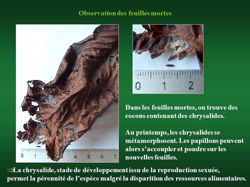 Observation des feuilles mortes Dans les feuilles mortes, on trouve des cocons contenant des chrysalides. Au printemps, les chrysalides se métamorphos