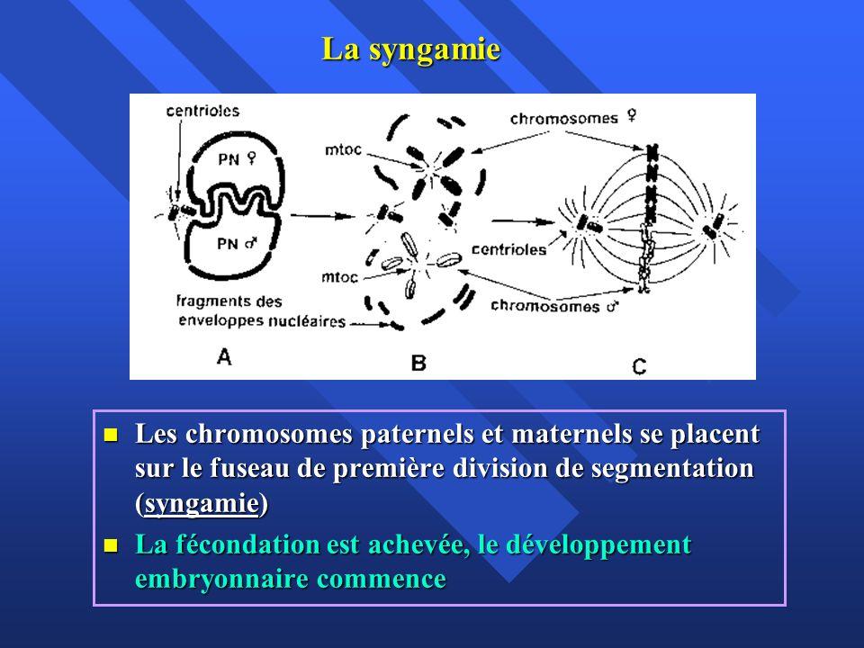 La syngamie Les chromosomes paternels et maternels se placent sur le fuseau de première division de segmentation (syngamie) Les chromosomes paternels