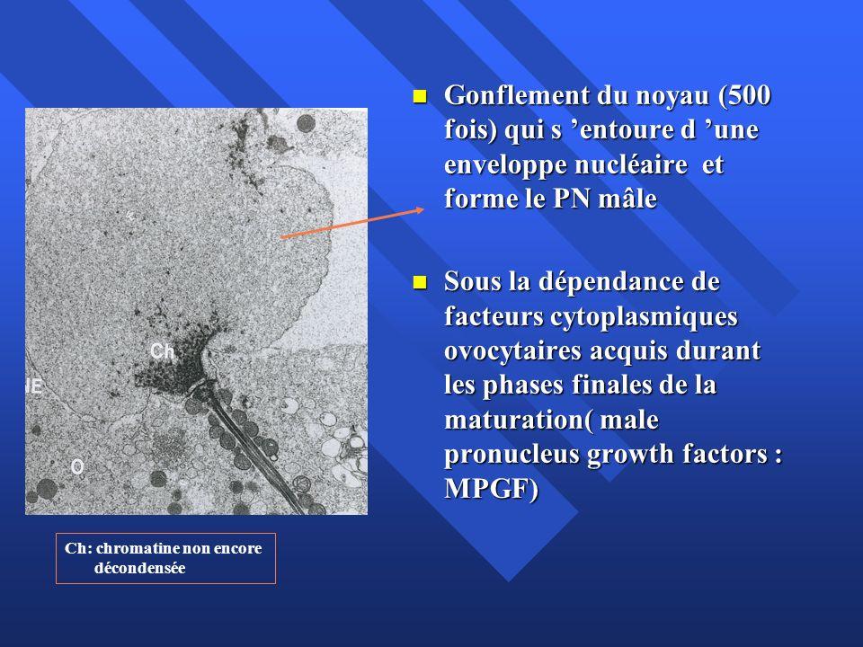 Gonflement du noyau (500 fois) qui s entoure d une enveloppe nucléaire et forme le PN mâle Gonflement du noyau (500 fois) qui s entoure d une envelopp