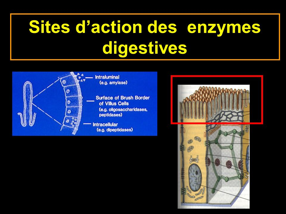 Sites daction des enzymes digestives
