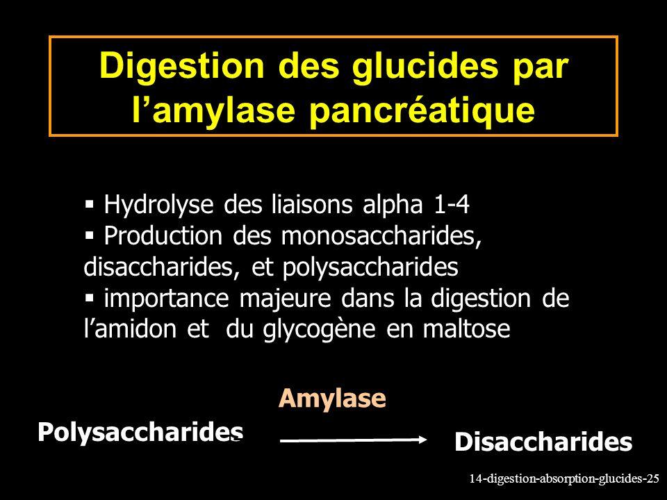 14-digestion-absorption-glucides-25 Digestion des glucides par lamylase pancréatique Hydrolyse des liaisons alpha 1-4 Production des monosaccharides,