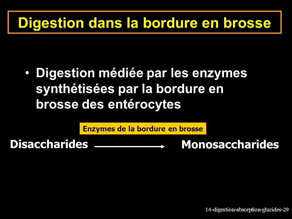 14-digestion-absorption-glucides-29 Digestion dans la bordure en brosse Digestion médiée par les enzymes synthétisées par la bordure en brosse des ent