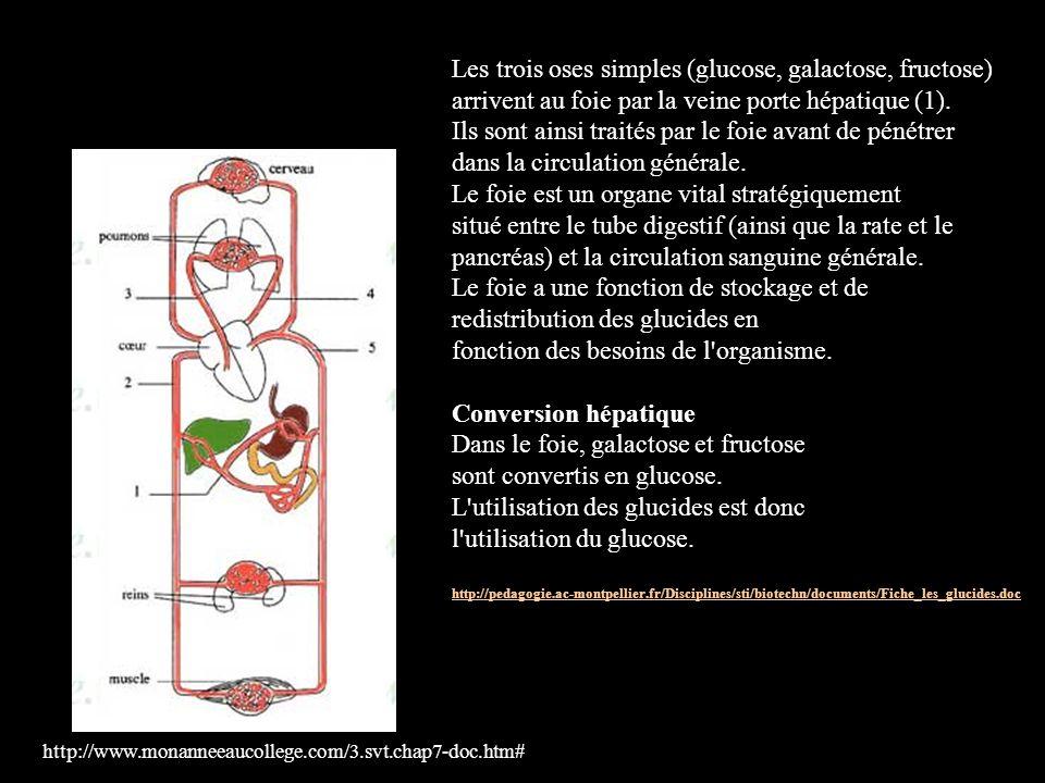 http://www.monanneeaucollege.com/3.svt.chap7-doc.htm# Les trois oses simples (glucose, galactose, fructose) arrivent au foie par la veine porte hépati