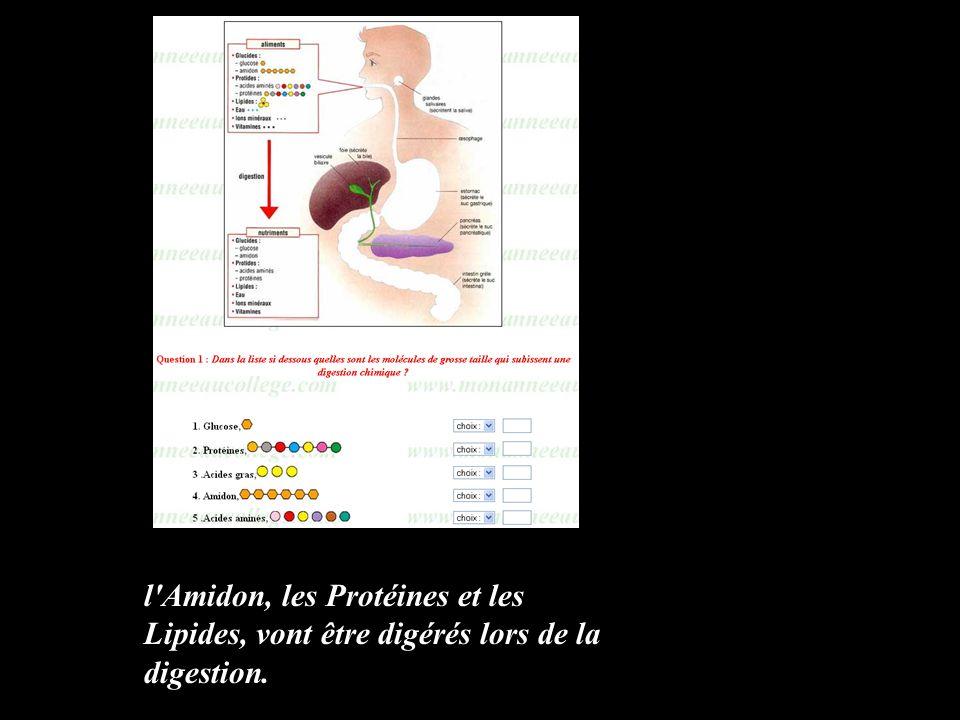 l'Amidon, les Protéines et les Lipides, vont être digérés lors de la digestion.