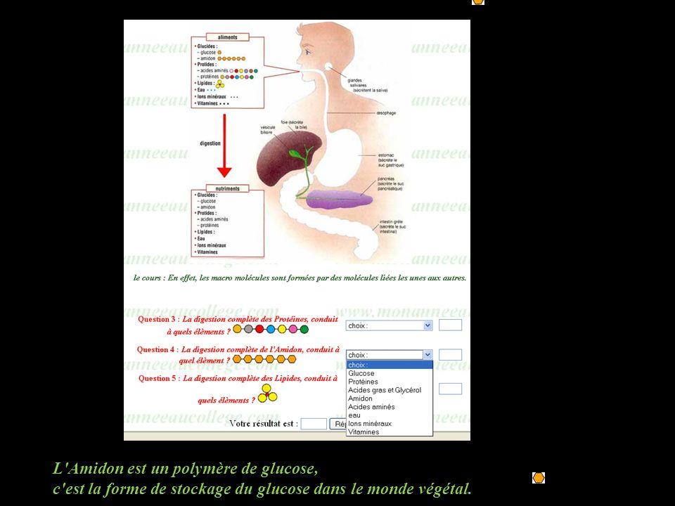 L'Amidon est un polymère de glucose, c'est la forme de stockage du glucose dans le monde végétal.