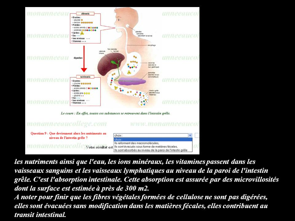 les nutriments ainsi que l'eau, les ions minéraux, les vitamines passent dans les vaisseaux sanguins et les vaisseaux lymphatiques au niveau de la par