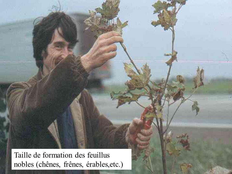 Élagage des branches de peupliers qui nuisent au développement des conifères