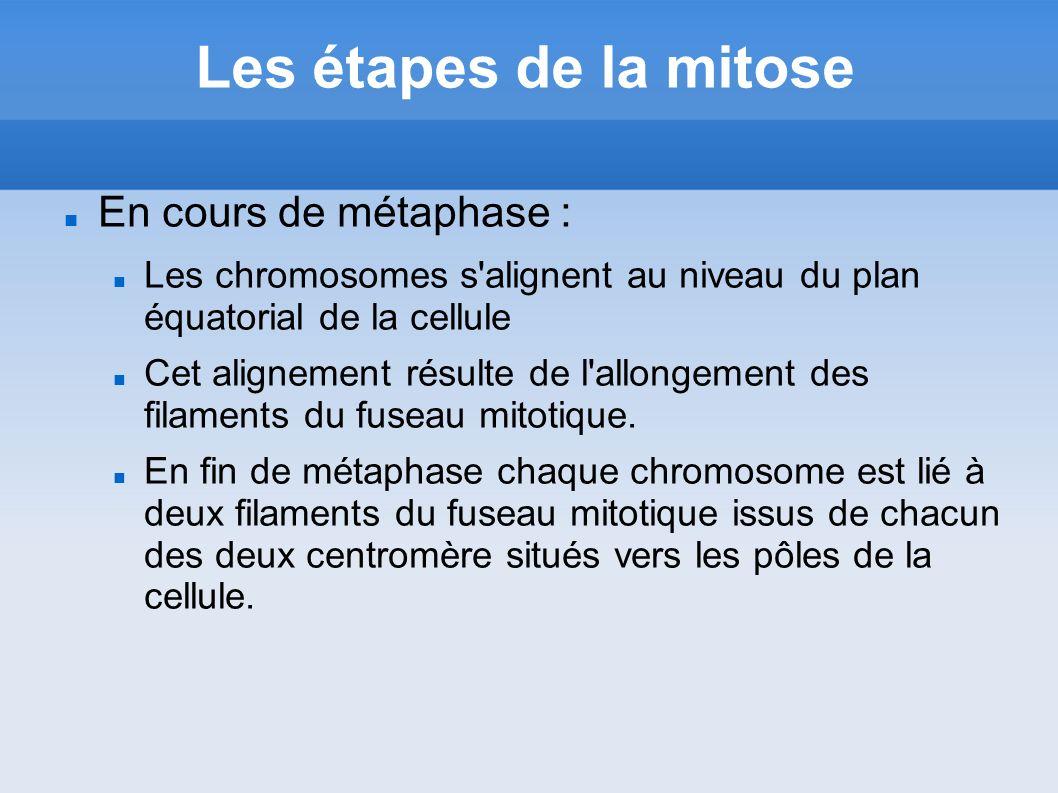 Les étapes de la mitose En cours de métaphase : Les chromosomes s'alignent au niveau du plan équatorial de la cellule Cet alignement résulte de l'allo