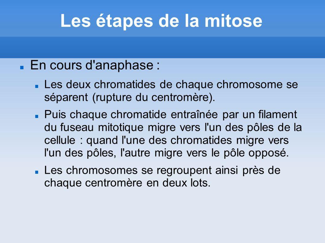 Les étapes de la mitose En cours d'anaphase : Les deux chromatides de chaque chromosome se séparent (rupture du centromère). Puis chaque chromatide en