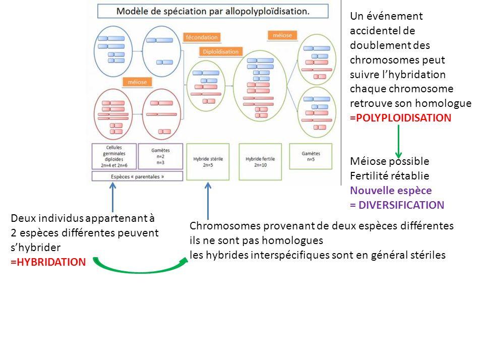 Deux individus appartenant à 2 espèces différentes peuvent shybrider =HYBRIDATION Chromosomes provenant de deux espèces différentes ils ne sont pas ho