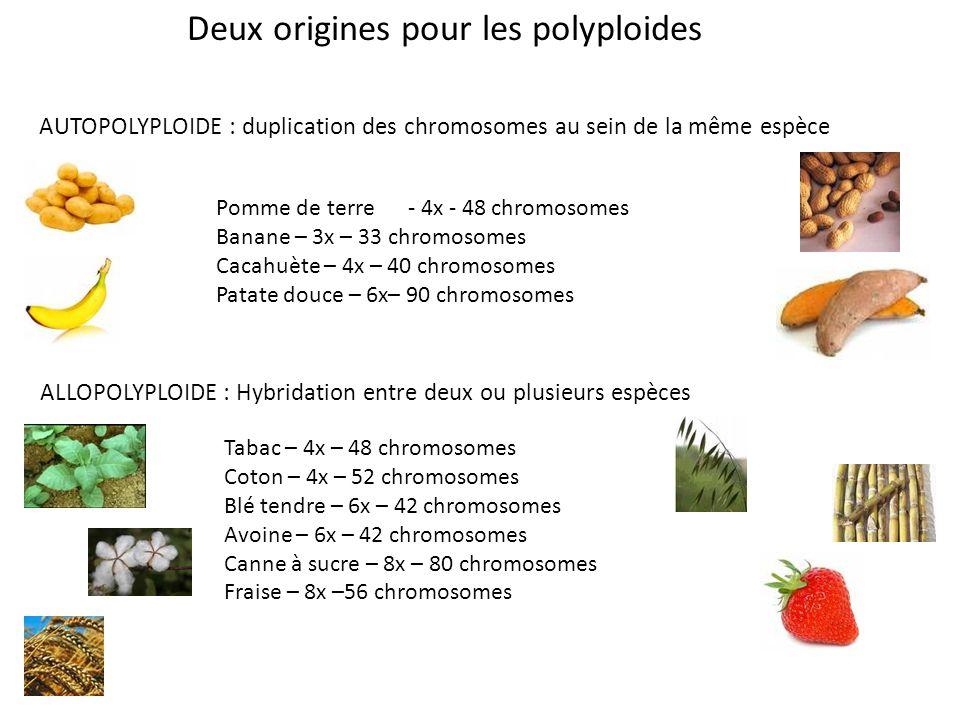 Deux origines pour les polyploides AUTOPOLYPLOIDE : duplication des chromosomes au sein de la même espèce Pomme de terre - 4x - 48 chromosomes Banane