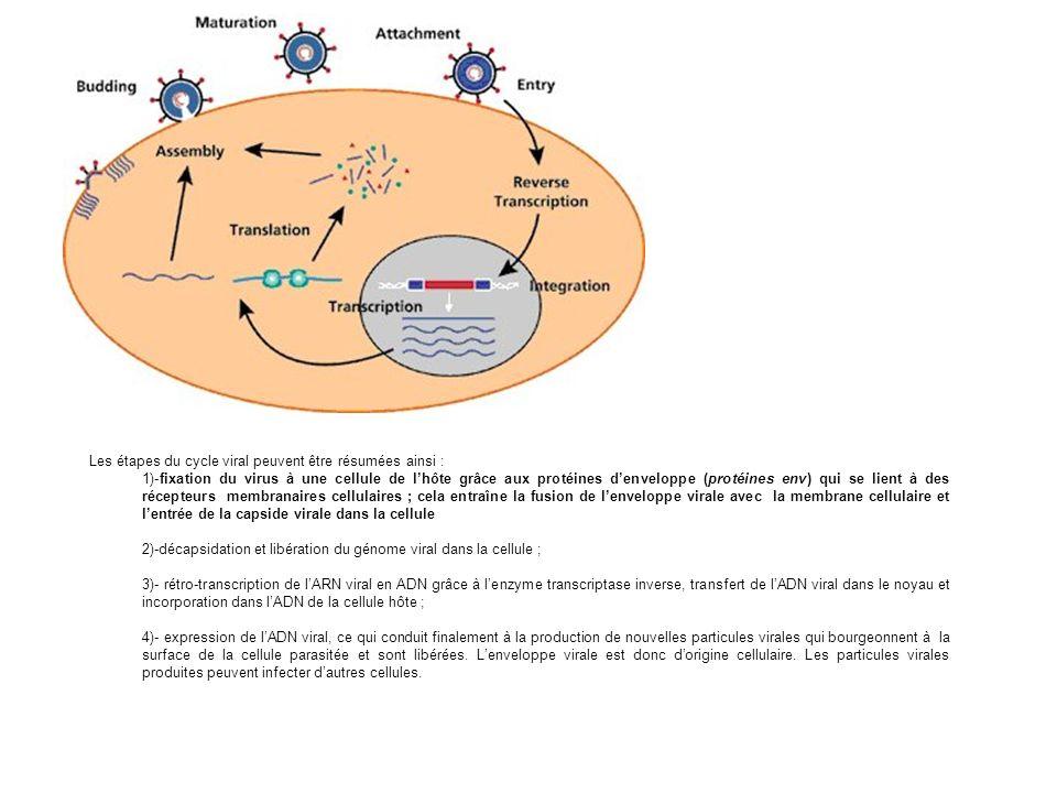Les étapes du cycle viral peuvent être résumées ainsi : 1)-fixation du virus à une cellule de lhôte grâce aux protéines denveloppe (protéines env) qui