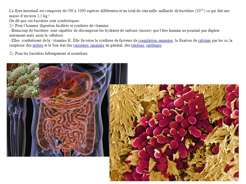La flore intestinal est composée de 500 à 1000 espèces différentes et un total de cent mille milliards de bactéries (10 14 ) ce qui fait une masse den