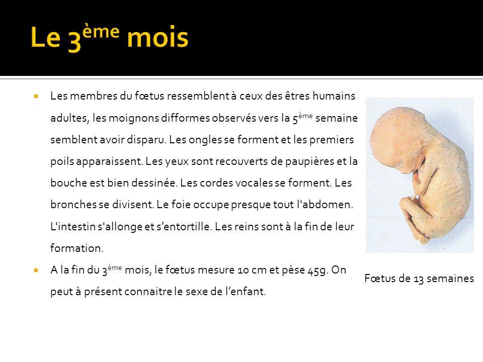 Les membres du fœtus ressemblent à ceux des êtres humains adultes, les moignons difformes observés vers la 5 ème semaine semblent avoir disparu.
