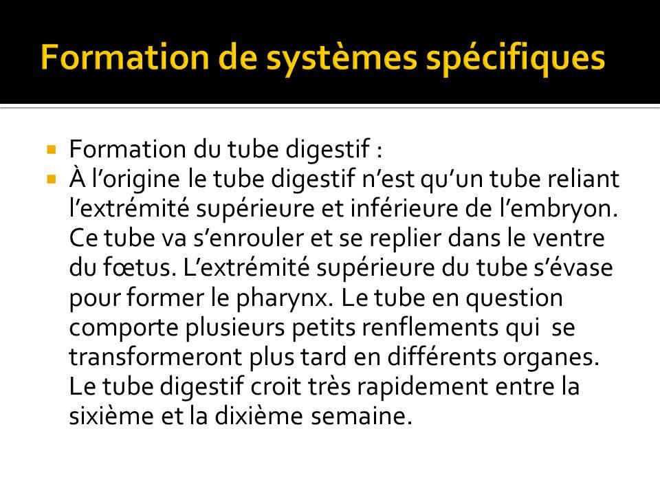 Formation du tube digestif : À lorigine le tube digestif nest quun tube reliant lextrémité supérieure et inférieure de lembryon.