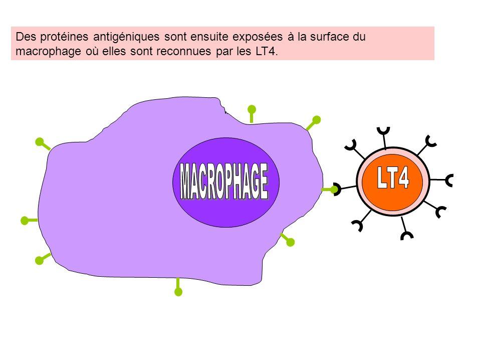 Les LT4 ainsi activés prolifèrent. Certains deviennent de LT4 « mémoire », dautres…