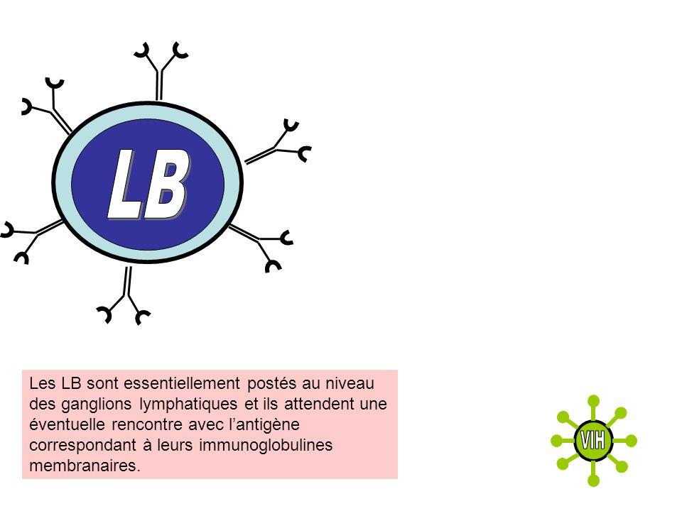 Les LB sont essentiellement postés au niveau des ganglions lymphatiques et ils attendent une éventuelle rencontre avec lantigène correspondant à leurs