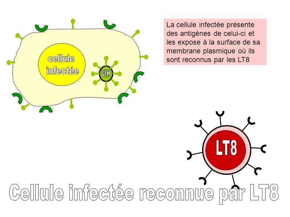 La cellule infectée présente des antigènes de celui-ci et les expose à la surface de sa membrane plasmique où ils sont reconnus par les LT8