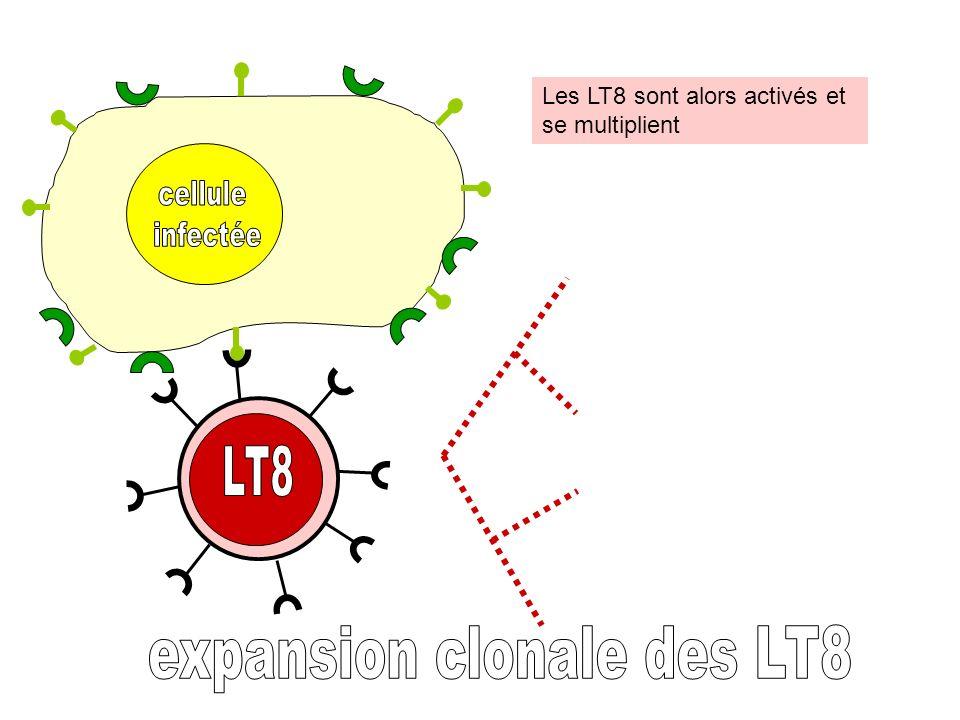 Les LT8 sont alors activés et se multiplient