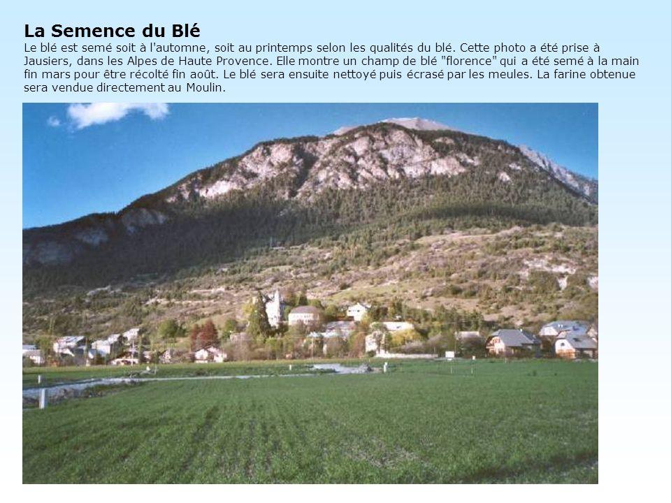 La Semence du Blé Le blé est semé soit à l'automne, soit au printemps selon les qualités du blé. Cette photo a été prise à Jausiers, dans les Alpes de