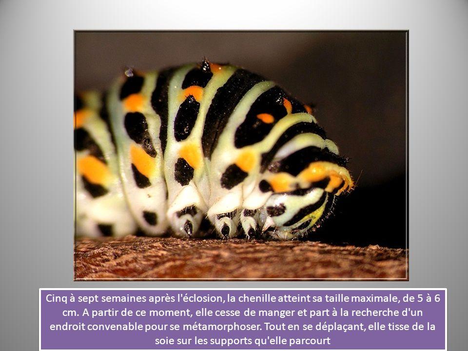 Cinq à sept semaines après l'éclosion, la chenille atteint sa taille maximale, de 5 à 6 cm. A partir de ce moment, elle cesse de manger et part à la r