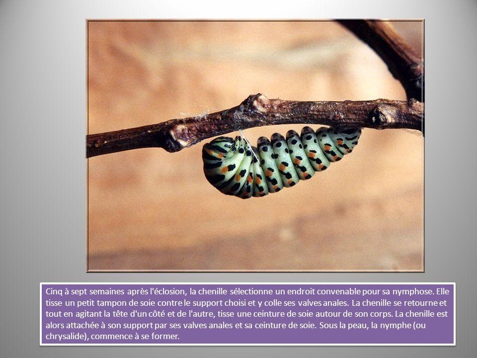 Cinq à sept semaines après l'éclosion, la chenille sélectionne un endroit convenable pour sa nymphose. Elle tisse un petit tampon de soie contre le su
