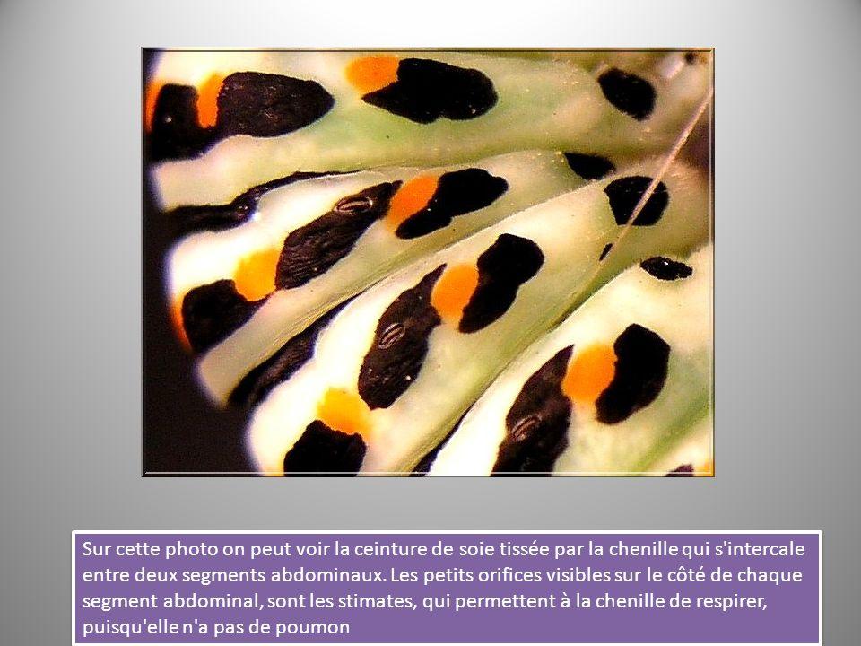 Sur cette photo on peut voir la ceinture de soie tissée par la chenille qui s'intercale entre deux segments abdominaux. Les petits orifices visibles s