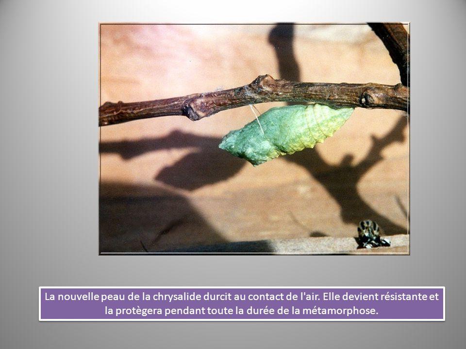 La nouvelle peau de la chrysalide durcit au contact de l'air. Elle devient résistante et la protègera pendant toute la durée de la métamorphose.