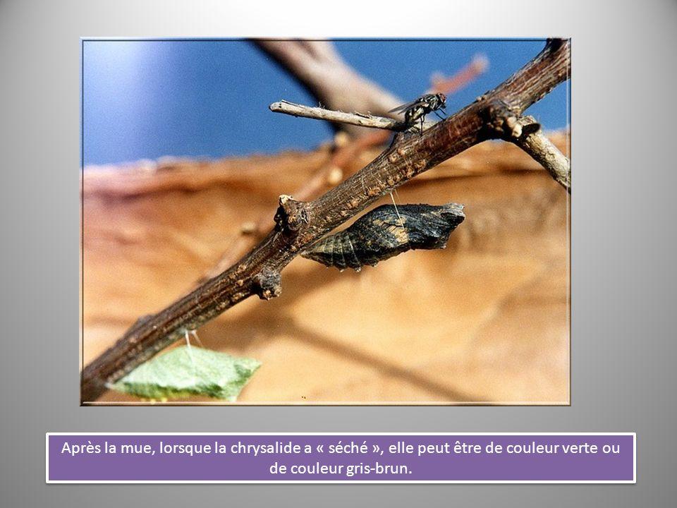 Après la mue, lorsque la chrysalide a « séché », elle peut être de couleur verte ou de couleur gris-brun.