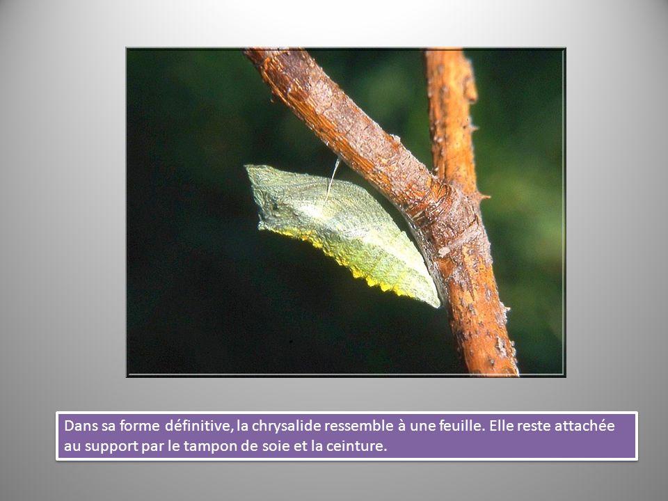 Dans sa forme définitive, la chrysalide ressemble à une feuille. Elle reste attachée au support par le tampon de soie et la ceinture.