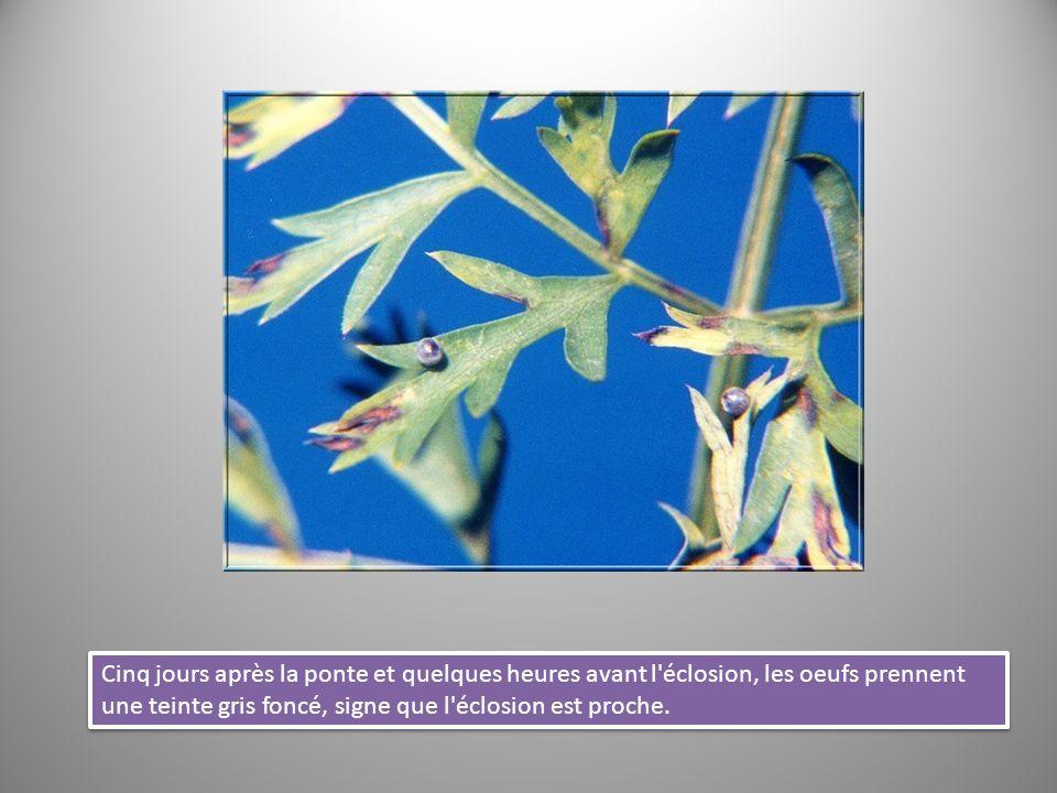 Dans sa forme définitive, la chrysalide ressemble à une feuille.