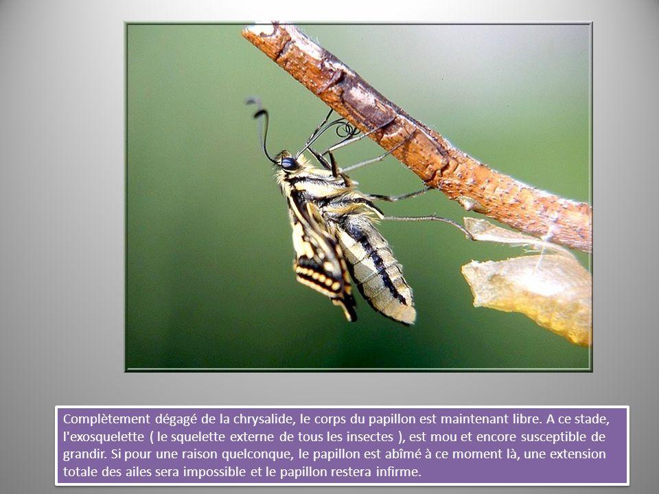 Complètement dégagé de la chrysalide, le corps du papillon est maintenant libre. A ce stade, l'exosquelette ( le squelette externe de tous les insecte