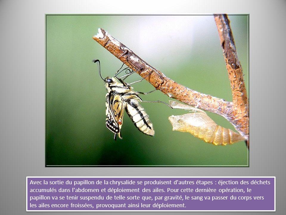 Avec la sortie du papillon de la chrysalide se produisent d'autres étapes : éjection des déchets accumulés dans l'abdomen et déploiement des ailes. Po