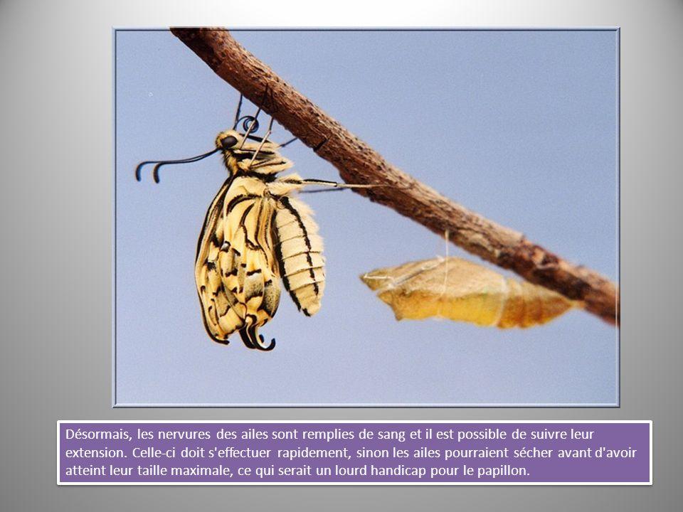 Désormais, les nervures des ailes sont remplies de sang et il est possible de suivre leur extension. Celle-ci doit s'effectuer rapidement, sinon les a