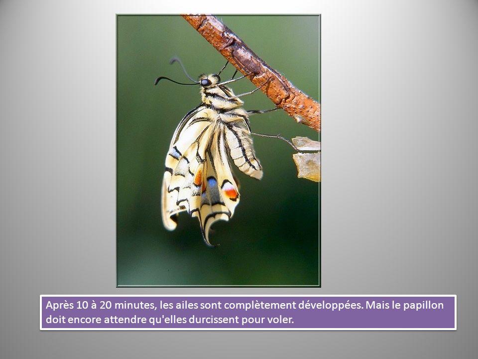 Après 10 à 20 minutes, les ailes sont complètement développées. Mais le papillon doit encore attendre qu'elles durcissent pour voler.