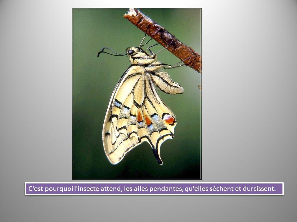 C'est pourquoi l'insecte attend, les ailes pendantes, qu'elles sèchent et durcissent.