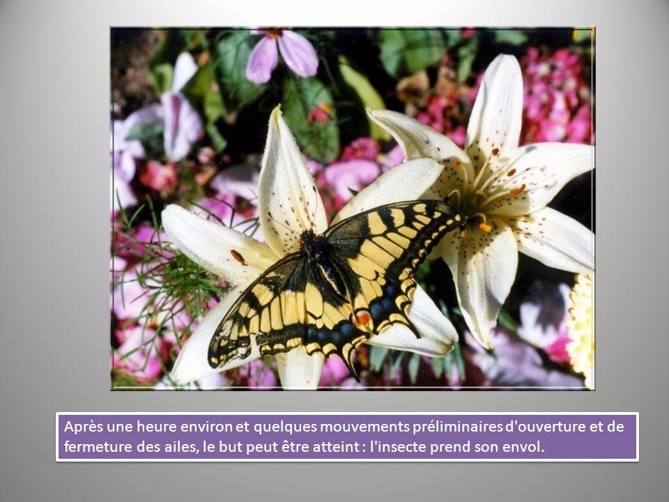 Après une heure environ et quelques mouvements préliminaires d'ouverture et de fermeture des ailes, le but peut être atteint : l'insecte prend son env