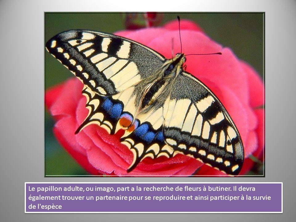Le papillon adulte, ou imago, part a la recherche de fleurs à butiner. Il devra également trouver un partenaire pour se reproduire et ainsi participer