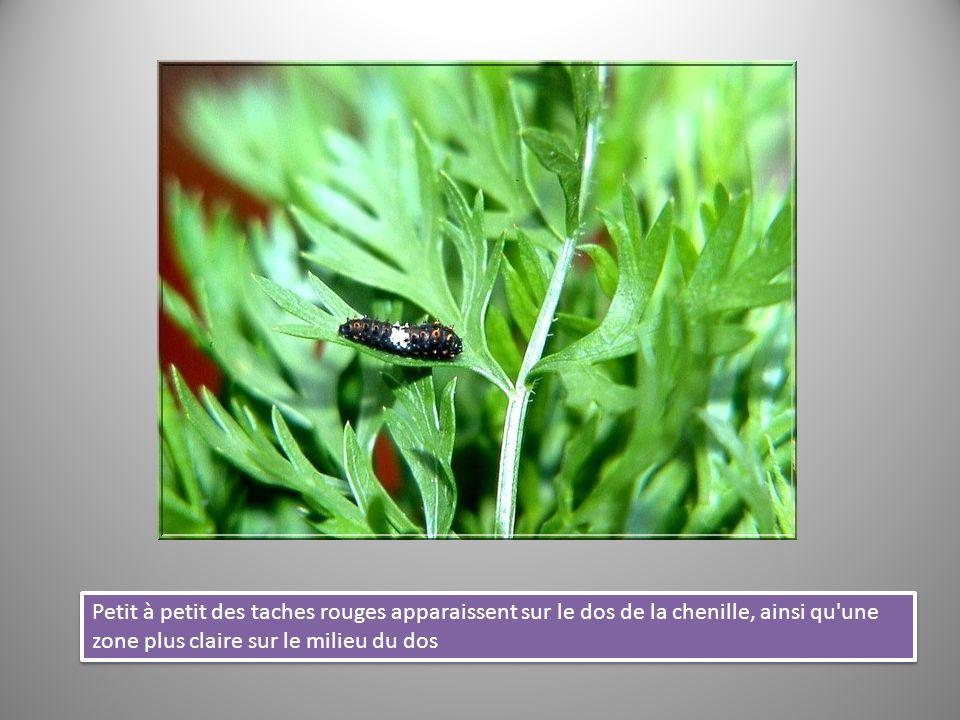 Pendant que la chenille reste immobile dans cette position, de nombreuses transformations biologiques commencent à s effectuer à l intérieur de son corps