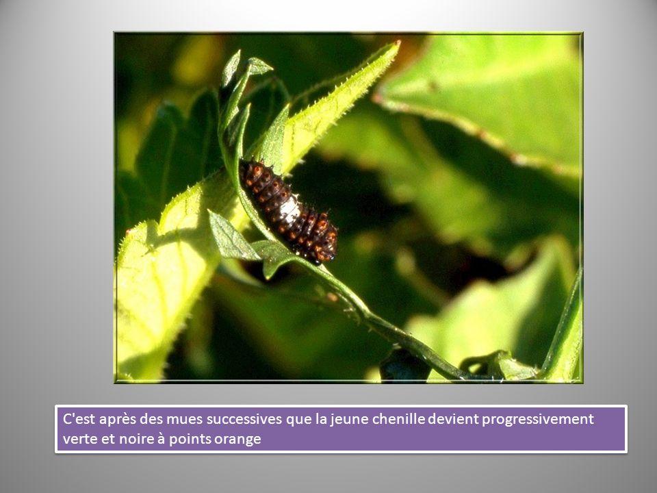 C est après des mues successives que la jeune chenille devient progressivement verte et noire à points orange.