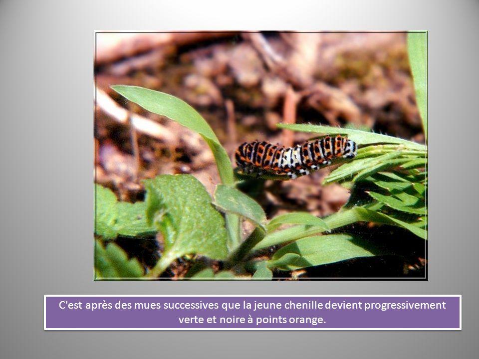 Plus la chenille grossit et plus la couleur verte de sa peau domine.