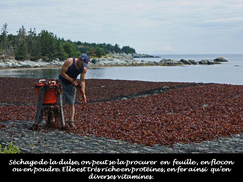 Le cueillette dalgues est un marché lucratif puisque lon exporte ce produit. La dulse, algue marine, est le prototype de laliment idéal pour la santé,