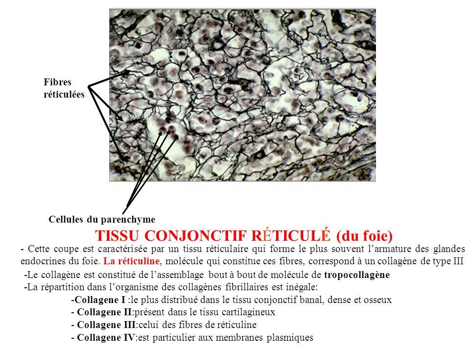 Fibres réticulées Cellules du parenchyme TISSU CONJONCTIF RÉTICULÉ (du foie) - Cette coupe est caractérisée par un tissu réticulaire qui forme le plus