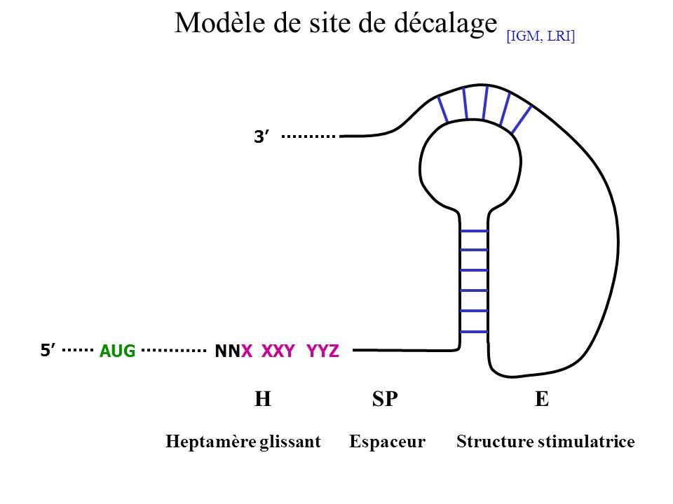 NNX XXY YYZAUG HSP Heptamère glissantStructure stimulatrice 5 3 Espaceur E Modèle de site de décalage [IGM, LRI]
