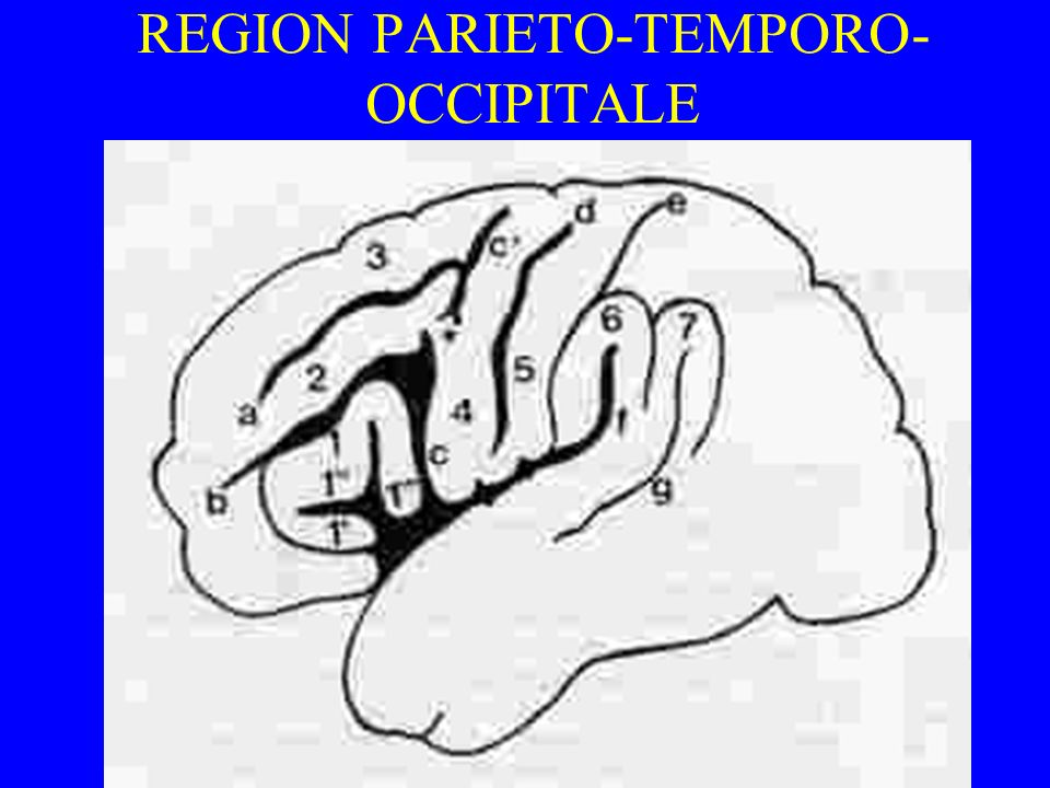REGION PARIETO-TEMPORO- OCCIPITALE