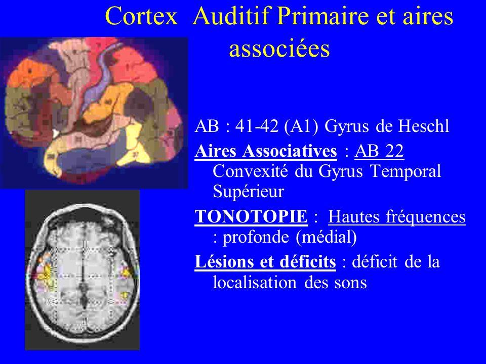 Cortex Auditif Primaire et aires associées AB : 41-42 (A1) Gyrus de Heschl Aires Associatives : AB 22 Convexité du Gyrus Temporal Supérieur TONOTOPIE : Hautes fréquences : profonde (médial) Lésions et déficits : déficit de la localisation des sons