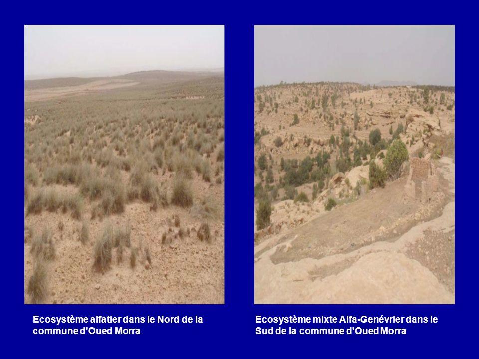 Ecosystème alfatier dans le Nord de la commune d'Oued Morra Ecosystème mixte Alfa-Genévrier dans le Sud de la commune d'Oued Morra