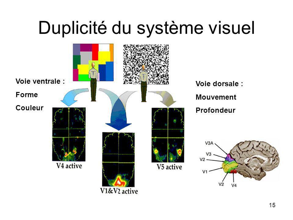 15 Duplicité du système visuel Voie ventrale : Forme Couleur Voie dorsale : Mouvement Profondeur