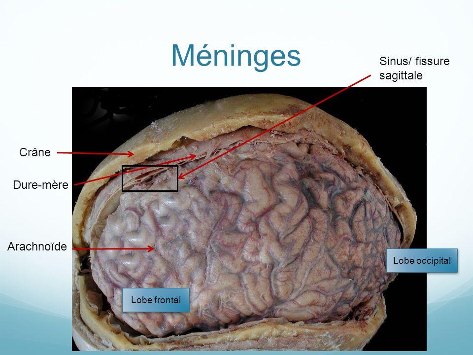 Méninges Crâne Dure-mère Arachnoïde Lobe frontal Lobe occipital Sinus/ fissure sagittale