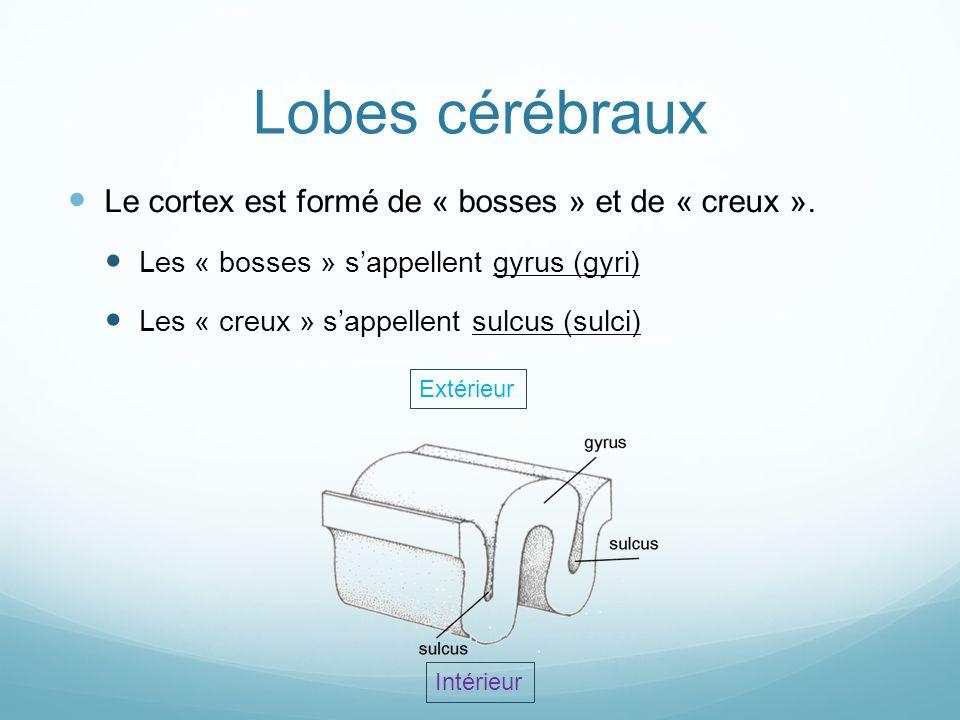 Lobes cérébraux Le cortex est formé de « bosses » et de « creux ». Les « bosses » sappellent gyrus (gyri) Les « creux » sappellent sulcus (sulci) Exté